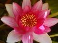 fleur de nenuphars